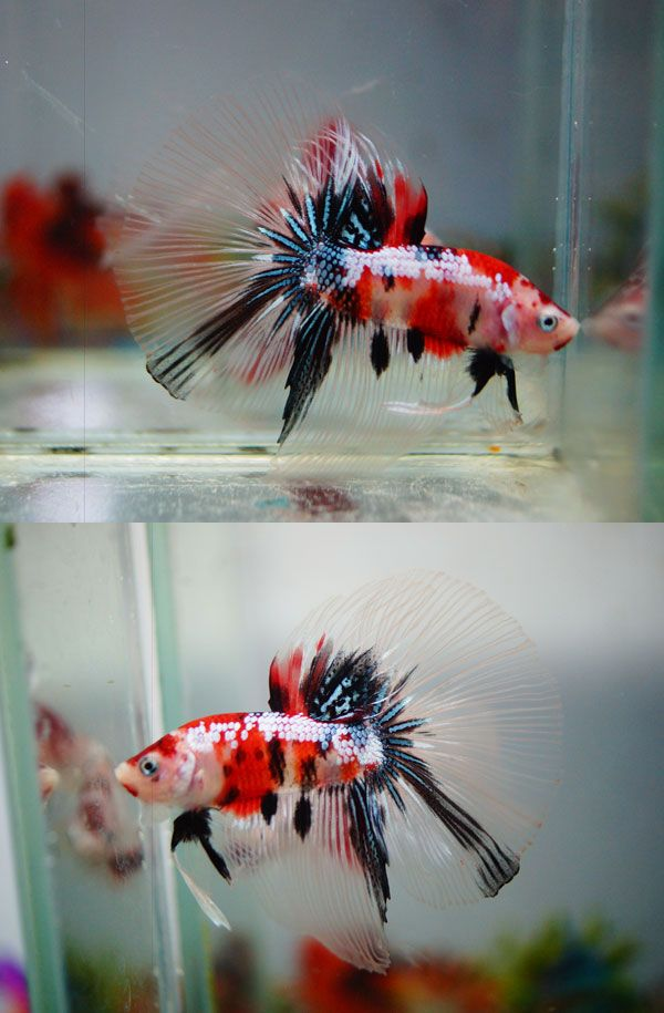 17 best images about betta fish on pinterest copper for Types of betta fish petco