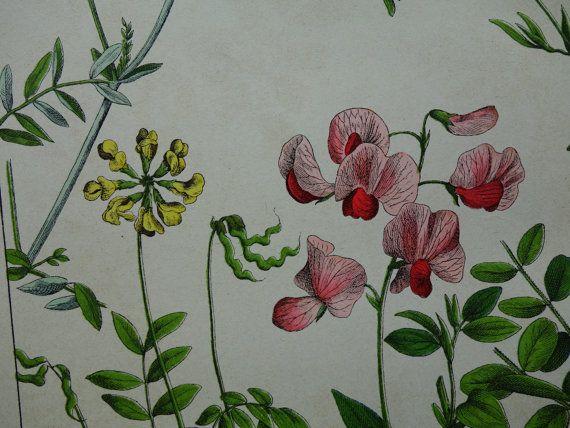 antique botany print LARGE 1879 old botanical by DecorativePrints