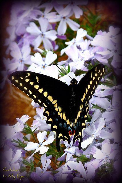 Black Swallowtail on Phlox