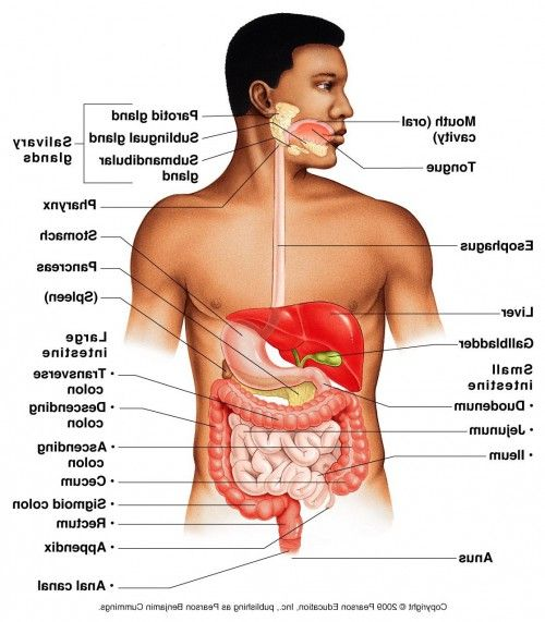 Location Of Organs In The Human Male Body