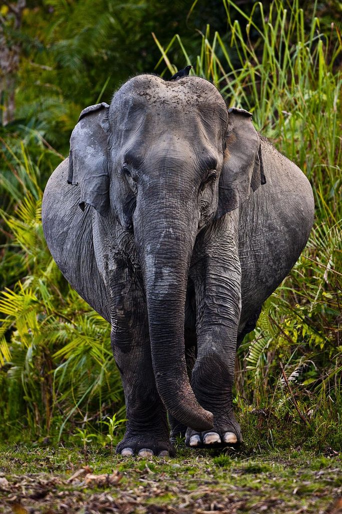 funkysafari:  Wild Elephant byUri Golman  I think this elephant is very, very pregnant.