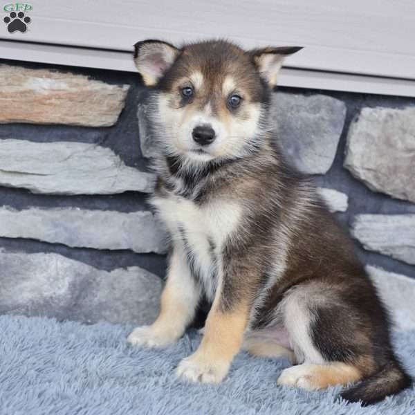 Twilight Siberian Husky Mix Puppy For Sale In Ohio Siberian Husky Mix Husky Mix Husky