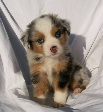 Australian Shepherd... my neighbor has one and its the sweetest thing ever, and its still super cute when it gets older: