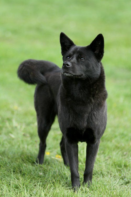 Pointed Ear Dog Breeds Lap Dogs