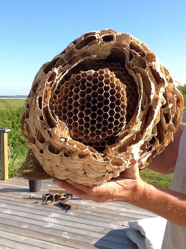 Inside the wasp nest