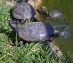 Trachemys scripta elegans .Red-Eared Slider or Terrapin - a group