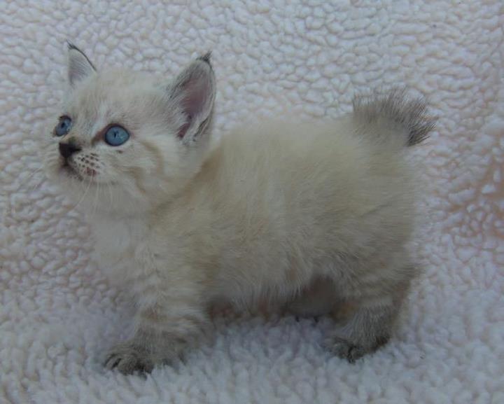 Munchkin Manx kitten Mojo x Azula