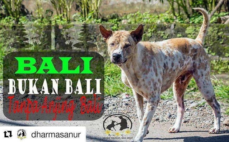 From @dharmasanur (@get_repost)  MEMBUKA RAHASIA ASAL MULA ANJING BALI DAN PENYEBARANNYA DI BALI. (2/2) Perkawinan antara anjing bali dengan anjing ras saat ini menyebabkan keunikan anjing Bali mulai berkurang. Kita akan kehilangan anjing yang berharga ini. Bali bahkan Indonesia saat ini bisa bangga dengan Anjing Kintamani yang sudah diakui RAS anjing asli bali merupakan perkawinan silang antara Anjing Bali Asli (Bali Street Dog) dengan anjing RAS Chow-Chow. Ironi nya Anjing Bali belum ada…