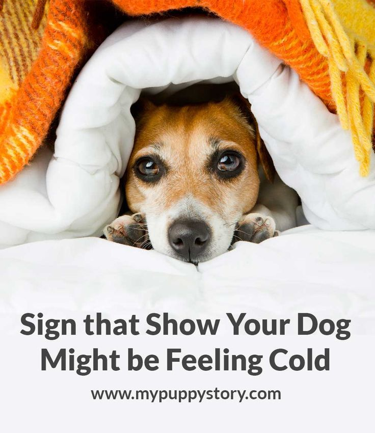 Sign that show your dog might be feeling cold -  Here are some tricks that can help you figure out if your dog is feeling too cold. Once you know that your dog is feeling cold, you can help it. mypuppystory.com #mypuppystory #dogtraining #dog #puppy #dogs #dogbreed #sick #cold #dogtrainingtips  http://mypuppystory.com/