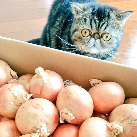 収穫祭のお裾分け。 太っ腹れすね♪スゴイ! ・ ・ ・ #エキゾチックショートヘア #exoticshorthair #catsofinstagram #catsagram #instacat #bestmeow #bestcataward #fulffycat #flatface #onion #猫 #愛猫 #猫部 #ふわもこ部 #もふもふ #猫モフー #ねこすたぐらむ #にゃんすたぐらむ #猫のいる暮らし #太っ腹 #玉ねぎ #癒し