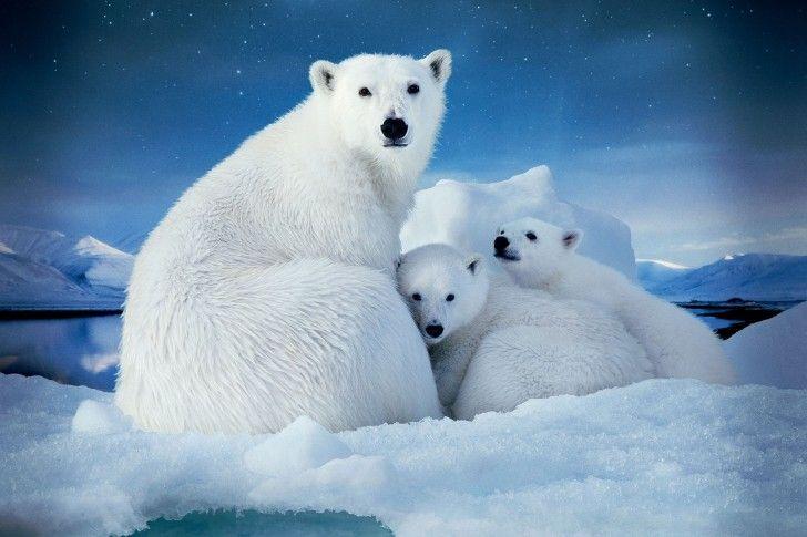 Arctic, Polar Bear wallpapers