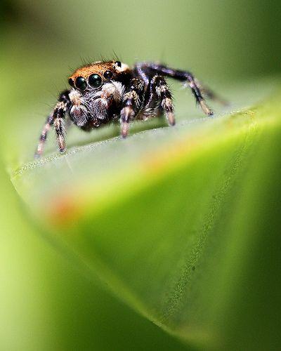 Jumping spiders are soooo cute