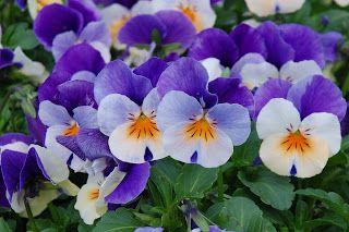 Bara's Blog: Hornveilchen - geliebte Frühjahrsblüher