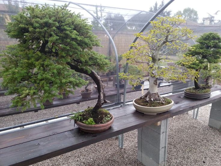 Autum is coming.. #bonsai #bonsaicoloredoriente