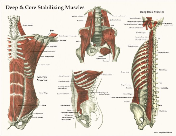 Muscles of the body, Power training and Muscle anatomy on ...