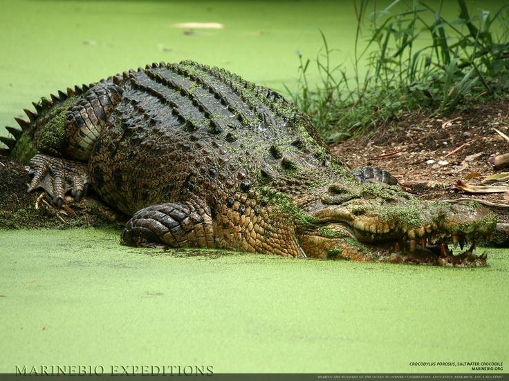 Saltwater Crocodiles, Crocodylus porosus
