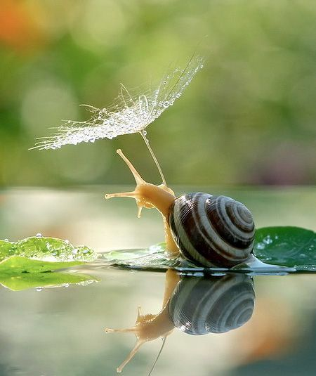 Nature photography | Wildlife photo | Snail reflection in water with a dandelion seed umbrella