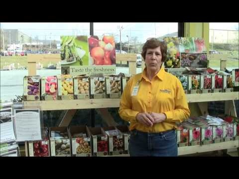 Learn How to Grow Onions with Stauffers of Kissel Hill Garden Center! We share in this video how to plant, care for and havest onions for your vegetable garden. Get more information about Stauffers of Kissel Hill at www.skh.com.