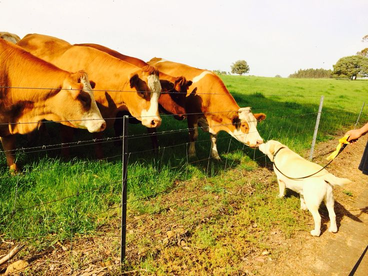 Gus meeting Violet the cow and friends in Denmark Western Australia.