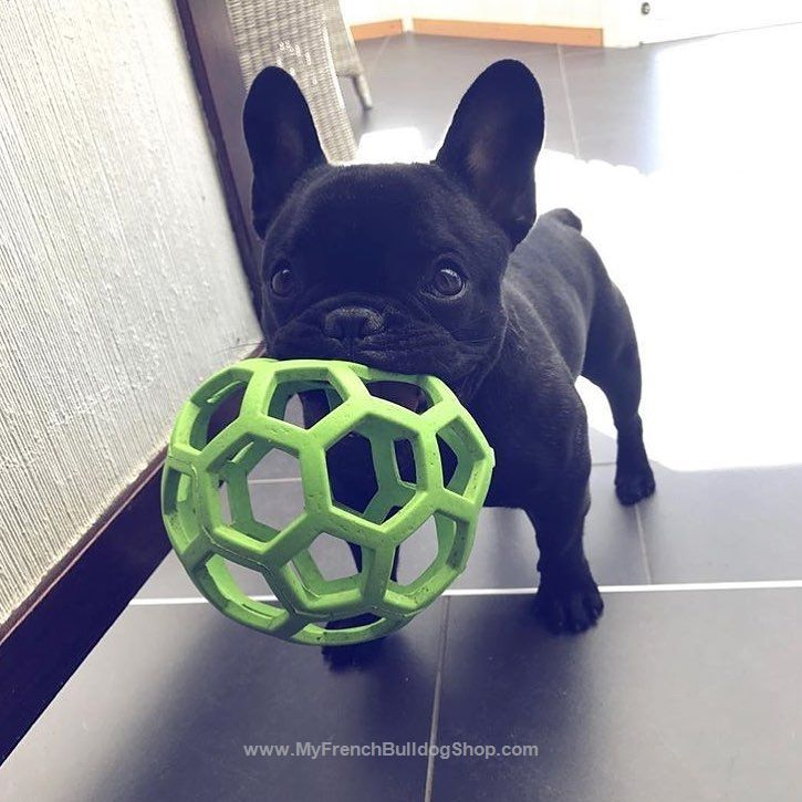 """""""C'mon lets do this!"""", Playful French Bulldog Puppy"""