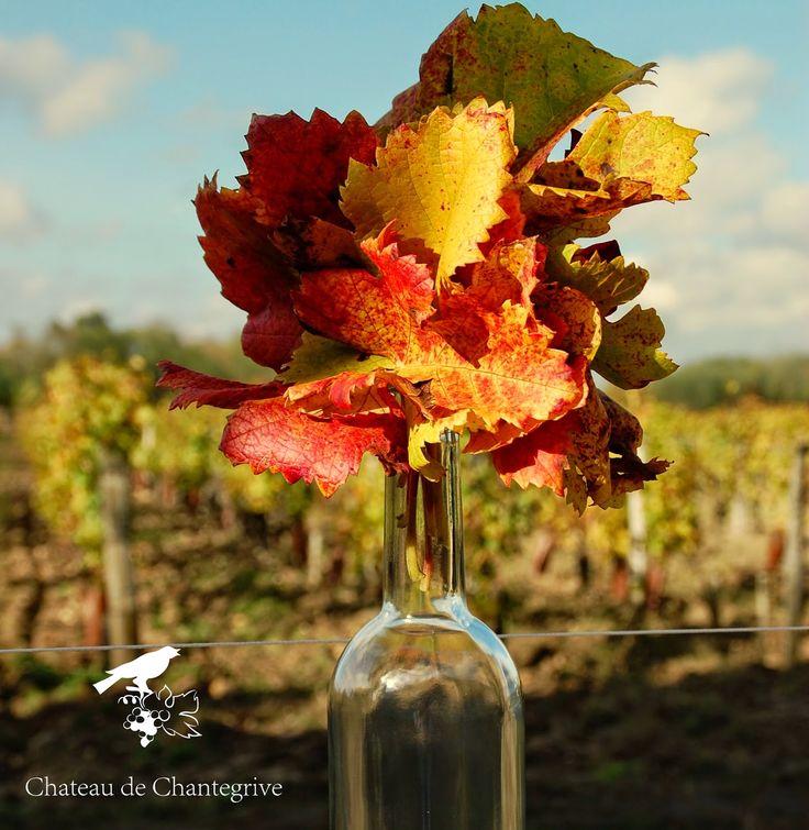 """La vigne orangée et les feuilles qui """"fall"""" en Automne -  Chantegrive - dormance - anthocyanes - sève - rouge - red - graves - bordeaux - leaves - vines - Merlot - sleeping"""