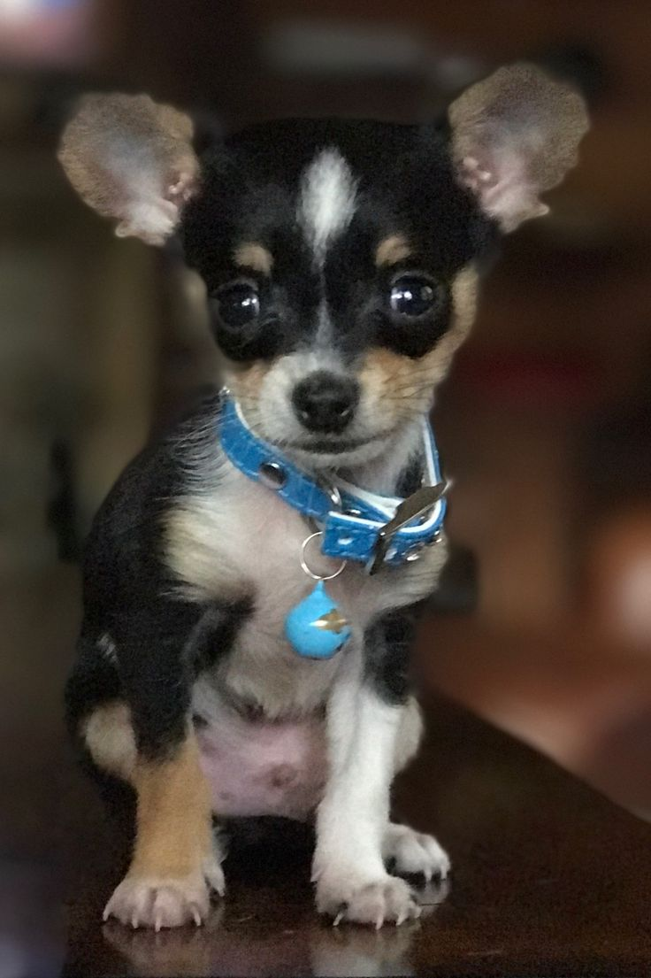 Chiyorkie Funny Animals Chihuahua Pets