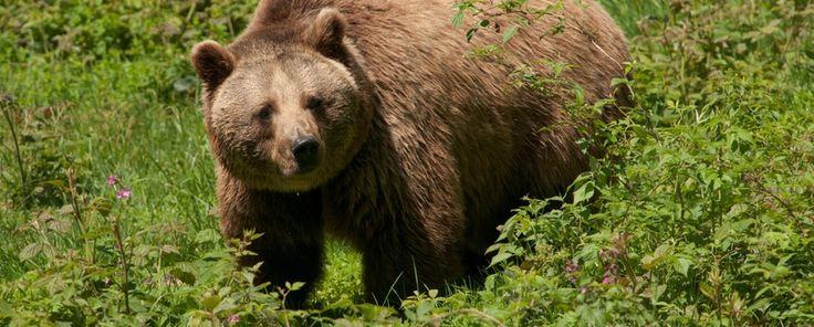 Nature Today | Een van de laatste bruine beren in Nederland leefde zo'n 1000 jaar geleden bij Noordwijk