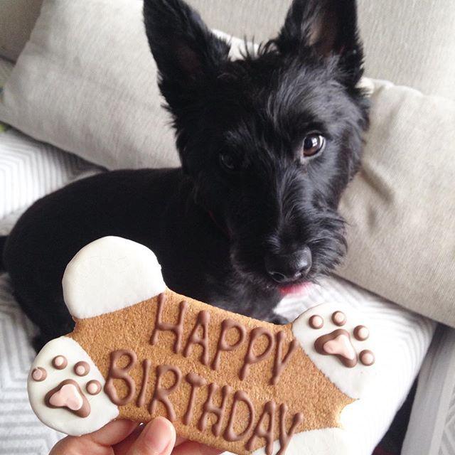 クマーです。きょう3さいになりました。 #scottie #scottishterrier #scotch #scotchterrier #terrier #blackdog #blackscottie #scottishterriersofinstagram #dog#dogsofinstagram #dogstagram #doglover #happybirthday #スコティッシュテリア#スコッチテリア#スコッチ#テリア#犬 #犬部 #わんこ #いぬ #愛犬