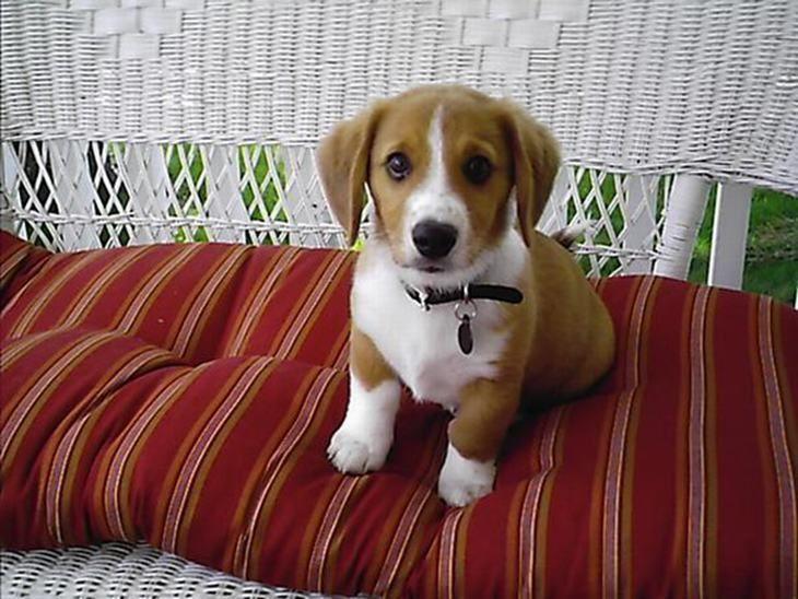 perros de raza mestiza- Corgi Beagle