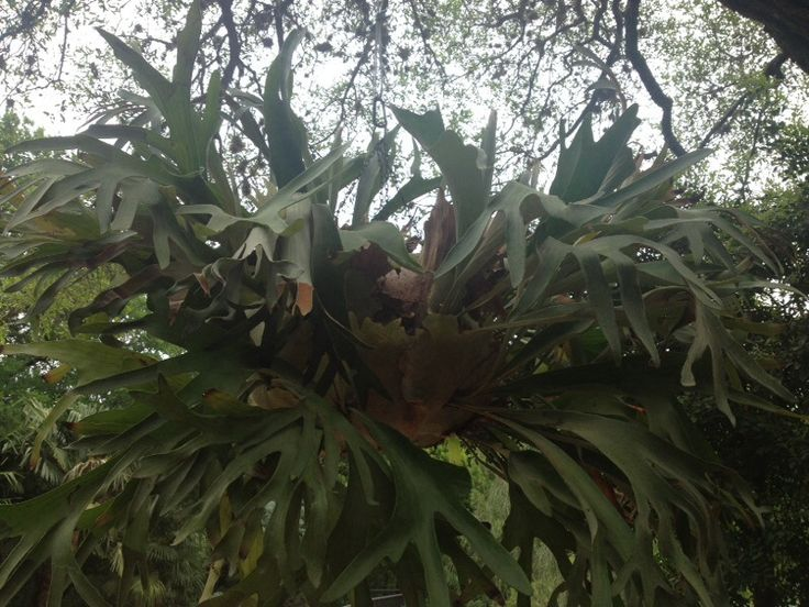 Staghorn Fern (platycerium species): Your epiphyte is commonly known as a staghorn fern, likely P. grande or P. superbum prized for their large, up to 6 ft. tall with a 5 ft. spread, growth habit and grayish-green often forked fronds. The sterile flat fronds age to tan and brown and support the plant as well as provide an area to store organic matter and nutrients. The forked fronds are fertile and resemble deer antlers. Needs partial shade or indirect light, regular water and feed with a…