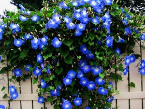 The fence line was full of deep blue morning glories.  Grandma showed my how to pop them before they bloomed out.