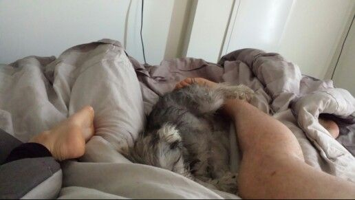 6 month old mini schnauzer puppy sleeping at our feet