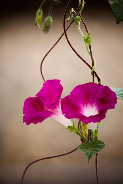 Morning Glory vine. we had a wall full. they close at night & open in the morning