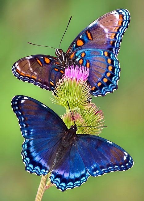 Red-spotted Purple Butterfly - photos, Limenitis arthemis