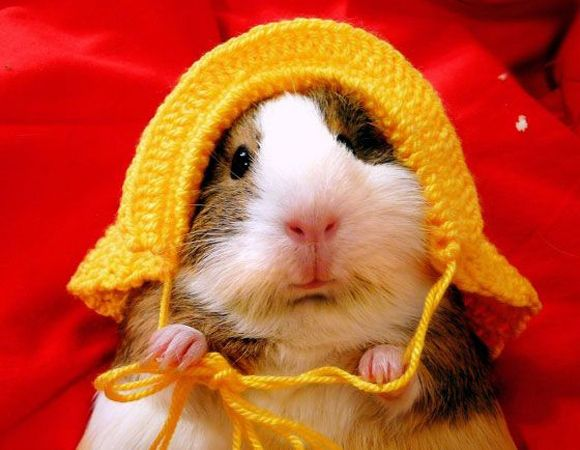 only a sweet: Formal Wear, Cute Guinea Pigs, So Cute, Crochet Hats, Pet, Red Riding Hoods, Knits Hats, Guineapig, Animal