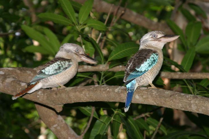 kookaburra blue paint - Google Search
