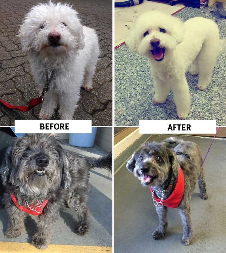 Last week was make-over week for two of our adoptable dogs! Titan and Riley both had a spa day to give them a new look and lease on life, and help these two senior boys in their search for a new family. Titan (top) is looking for a forever home at the BC SPCA Vancouver Branch, and Riley (bottom) has an adoption pending at the BC SPCA Burnaby Branch!