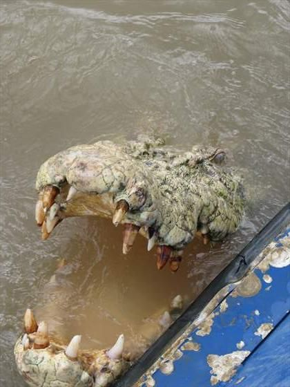 Hungry croc in the Adelaide river, Australia