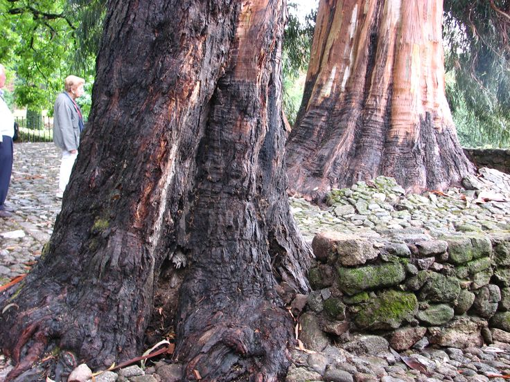 Tremendos eucaliptos del Monasterio de Yuste. Impresiona ver cómo levantan el pavimento.