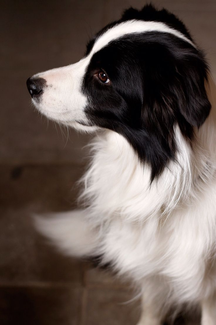 3 years border collie