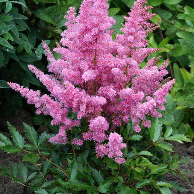 the 25 best astilbe arendsii ideas on pinterest tall. Black Bedroom Furniture Sets. Home Design Ideas