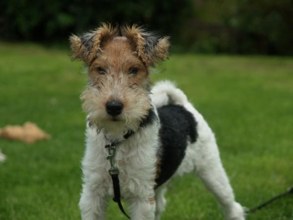 Best Food For Wire Haired Fox Terrier