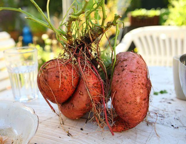 Chcesz wyleczyć wrzody żołądka czy cukrzycę? Jedz słodkie ziemniaki!  #rytmynatury #słodkie #ziemniaki #pataty #bataty #wrzody #żołądka