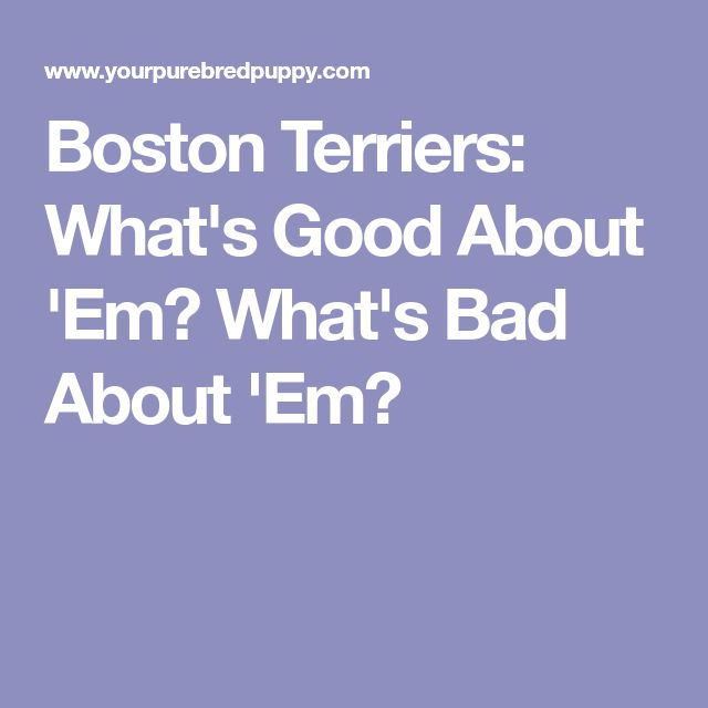 Boston Terriers: What's Good About 'Em? What's Bad About 'Em?