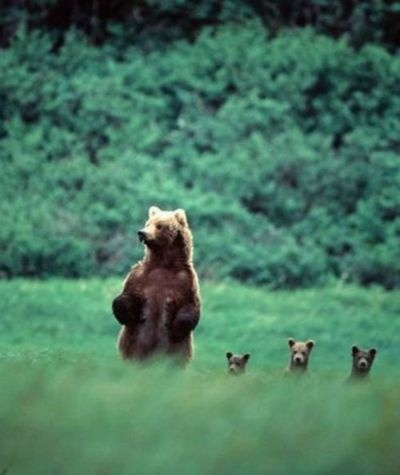 : Animals, Momma Bear, Cubs, Families, Baby Bears, Photo