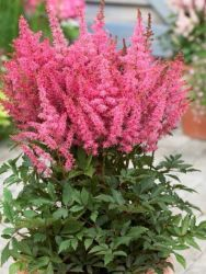 Prachtspiere 'Younique Pink' - Astilbe japonica 'Younique Pink'
