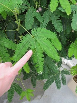 Care instructions and information about the Mimosa or Sensitive Plant.