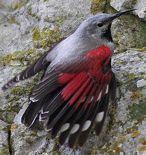Wallcreeper: throughout the high mountains of Eurasia, very closely related to the nuthatches
