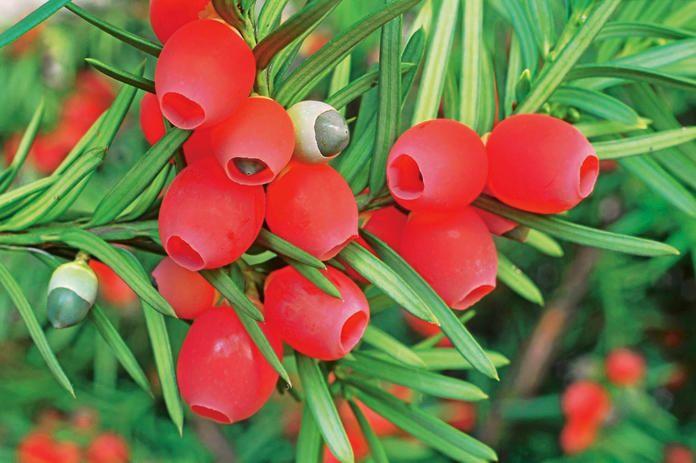Die 10 Gefahrlichsten Giftpflanzen Im Garten Giftpflanzen Essbare Pflanzen Pflanzen