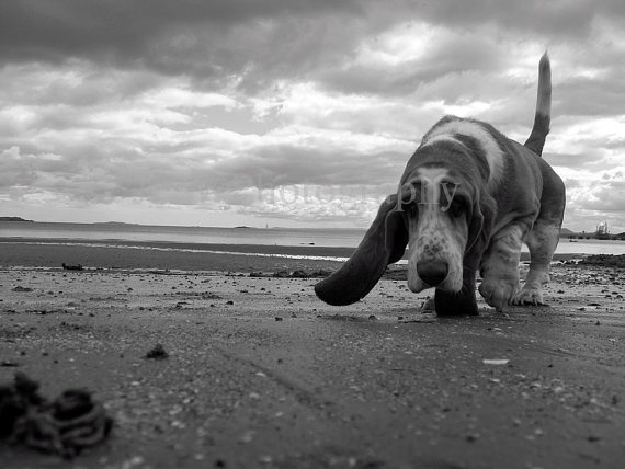 Animal Photograph Basset Hound Dog on Beach in by JPWPhotography, $10.00